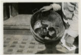 Monkey and cats in a basket, Cappel Market, 3/30/1926, Morristown, NJ